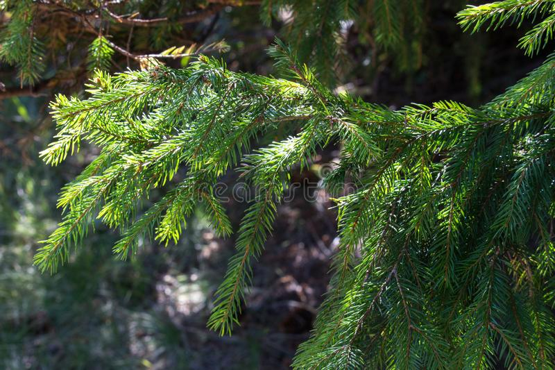 Green Christmas tree in sunlight closeup. Coniferous forest background. Spruce needles close up. Evergreen trees backgroun stock photo