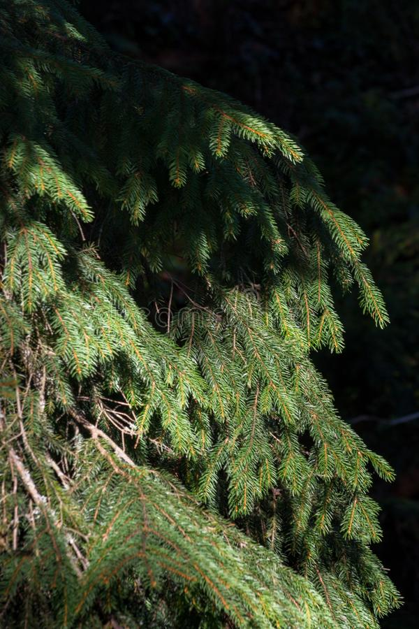 Green Christmas tree with sunny shadow closeup. Coniferous forest background. Spruce needles close up. Evergreen trees background. royalty free stock images