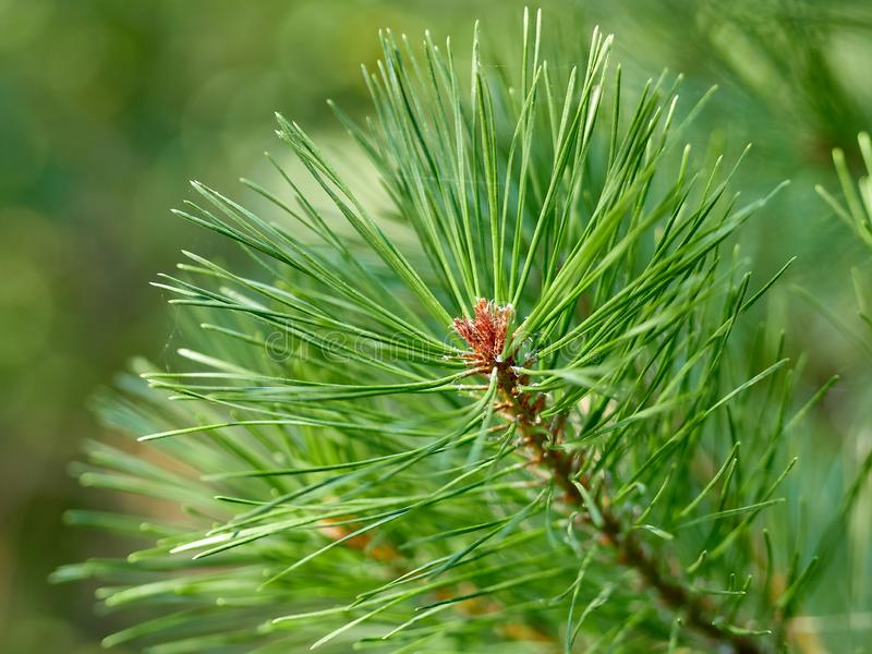 Green Christmas trees in the forest. Green Christmas trees in the autumn forest stock photo