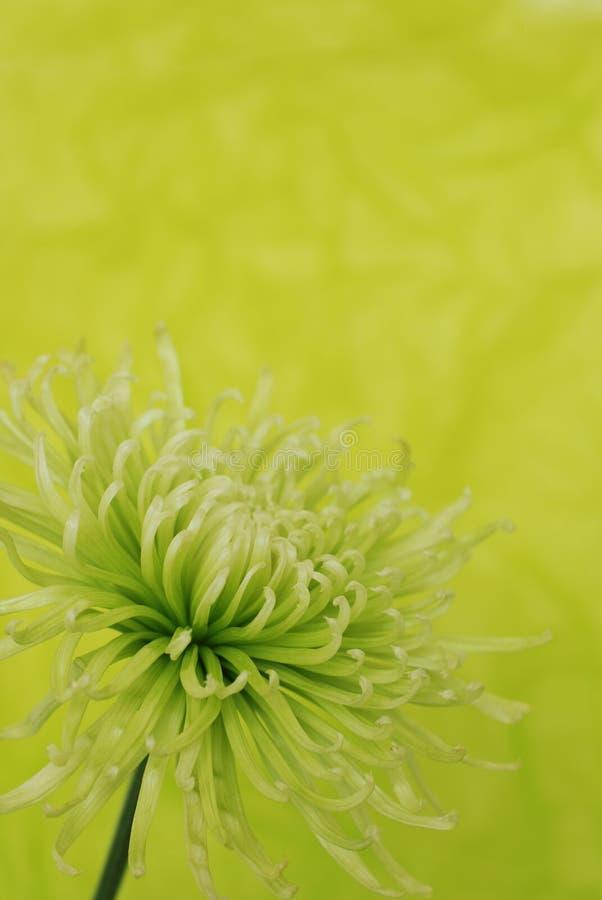 Green chrysanthemum flower stock photo