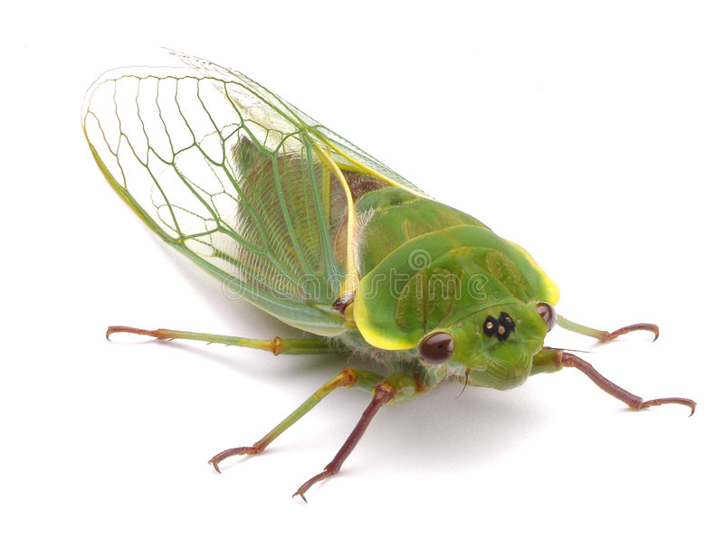 Green Cicada Bug royalty free stock photos