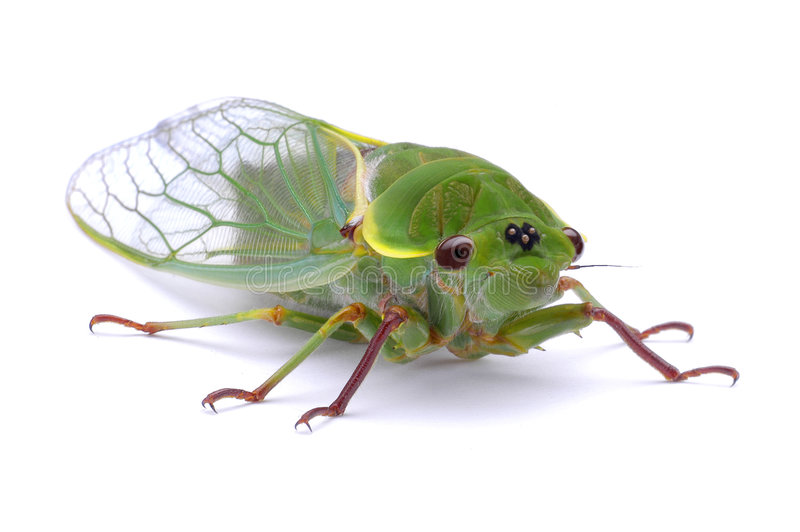 Green Cicada Insect royalty free stock photo