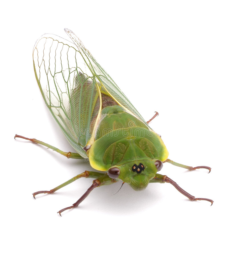 Green Cicada Insect Isolated royalty free stock images
