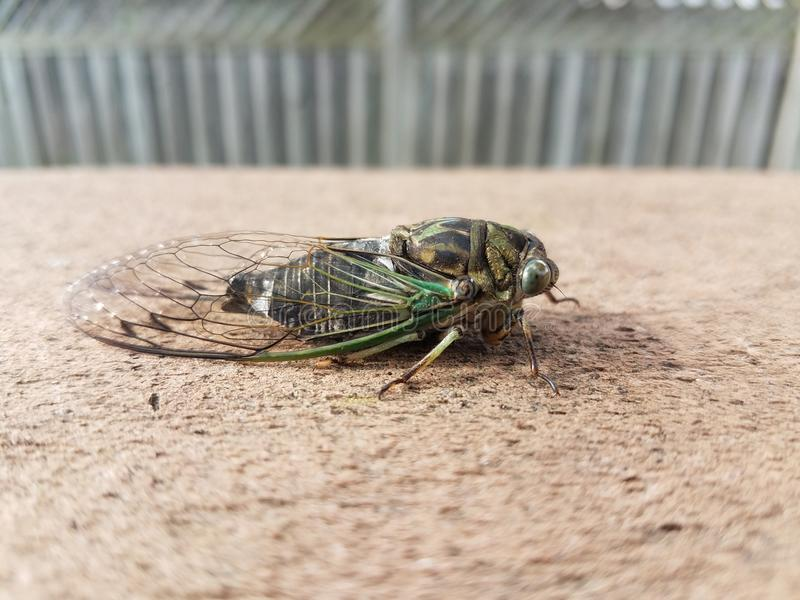 Green cicada insect on wood outdoor stock photo