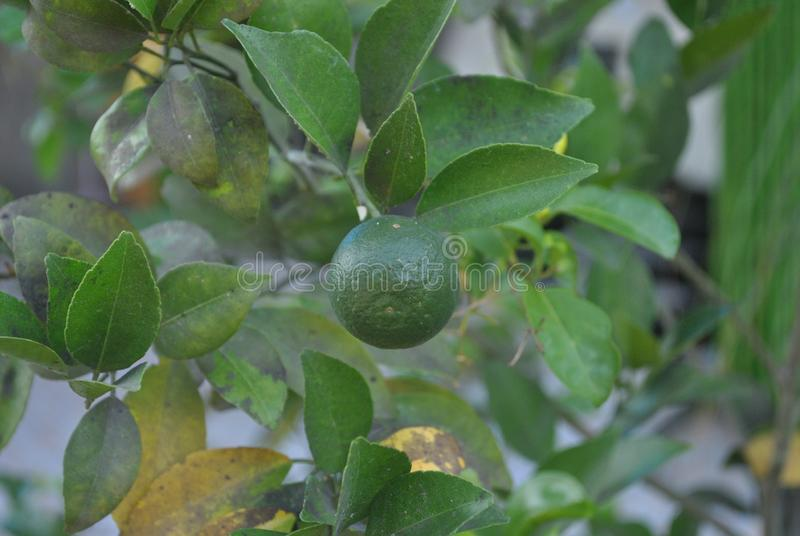 A green citrus in the branch royalty free stock photo