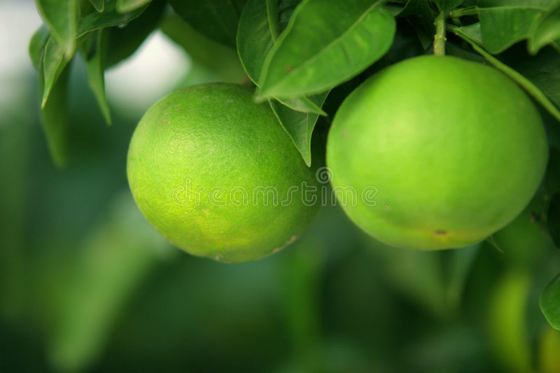 Green Citrus Fruits stock photos