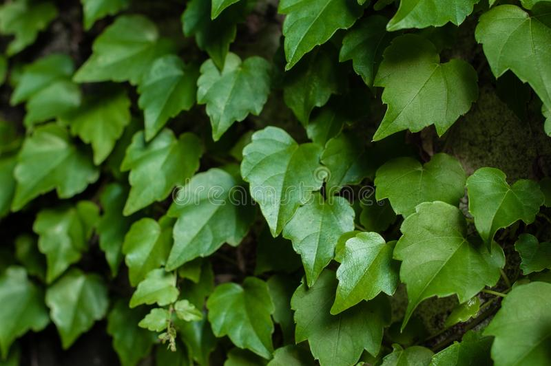Green clambering plant on a grey stone surface. Close-up view. Natural background.  stock images