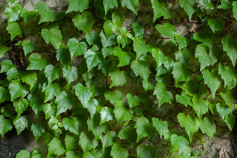 Green clambering plant on a grey stone surface. Close-up view. Natural background.  stock photo