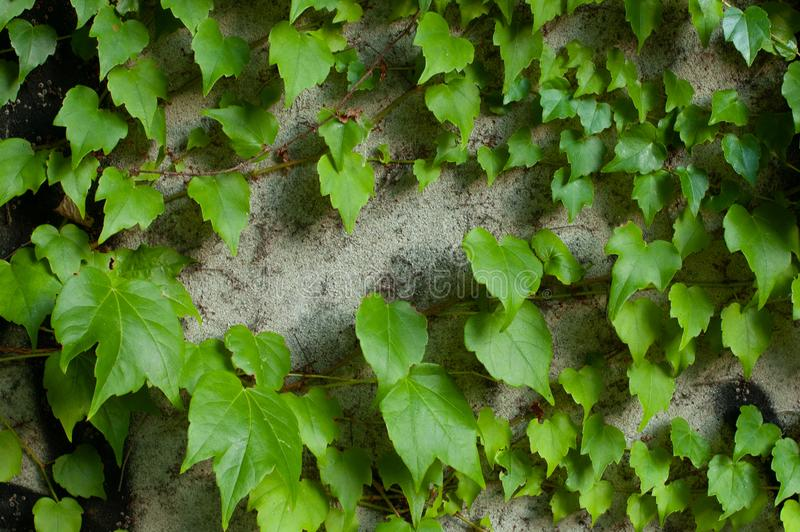 Green clambering plant on a grey stone surface. Close-up view. Natural background.  royalty free stock photos