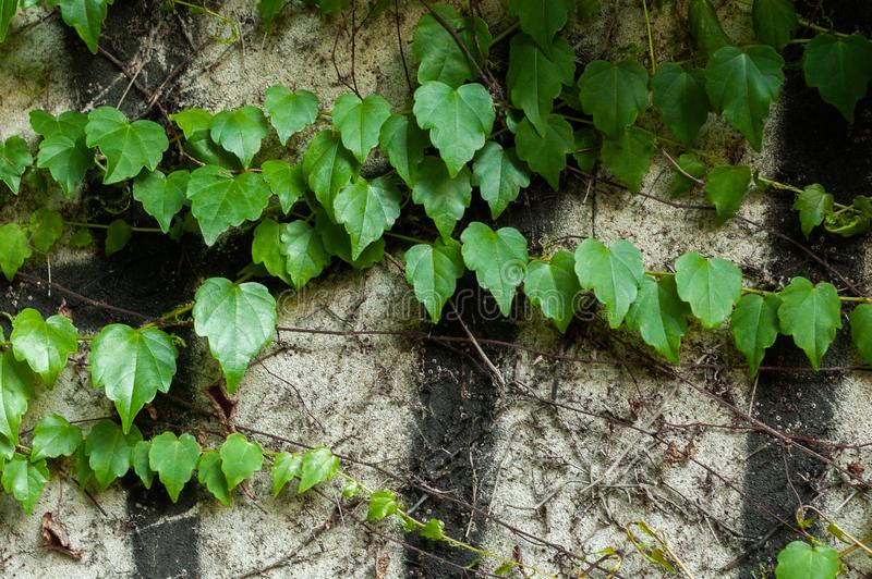 Green clambering plant on a grey stone surface. Close-up view. Natural background.  stock image