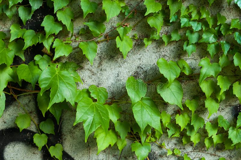 Green clambering plant on a grey stone surface. Close-up view. Natural background.  stock photography