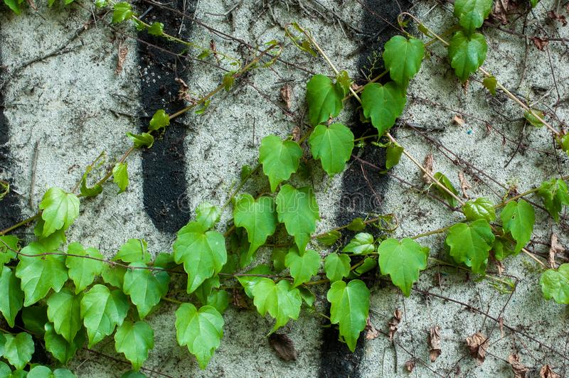 Green clambering plant on a grey stone surface. Close-up view. Natural background.  stock photos