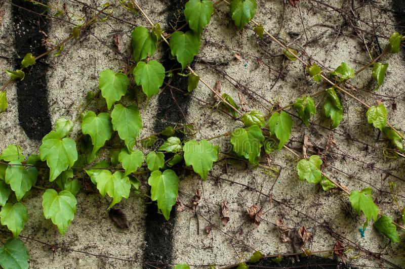 Green clambering plant on a grey stone surface. Close-up view. Natural background.  royalty free stock photography