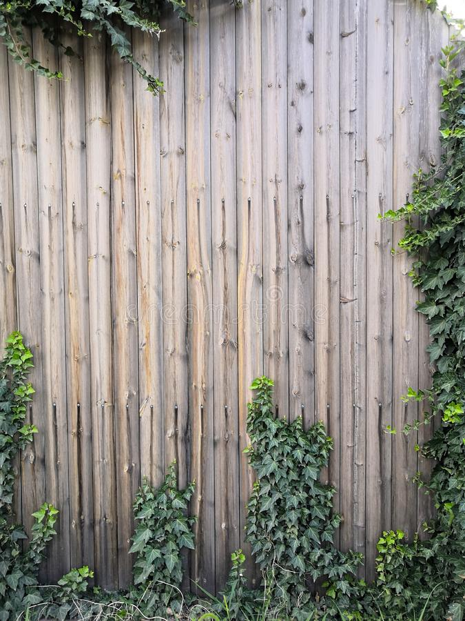 Green climbing plant on a brown wooden fence. Natural background texture. Beautiful Green ivy leaves climbing on wooden wall. wood planks covered by green leaves stock image