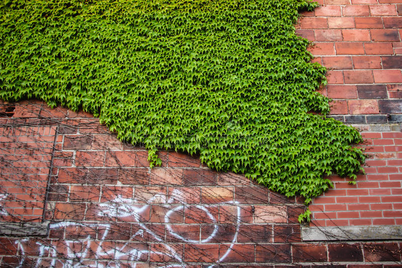 Green climbing plants royalty free stock images