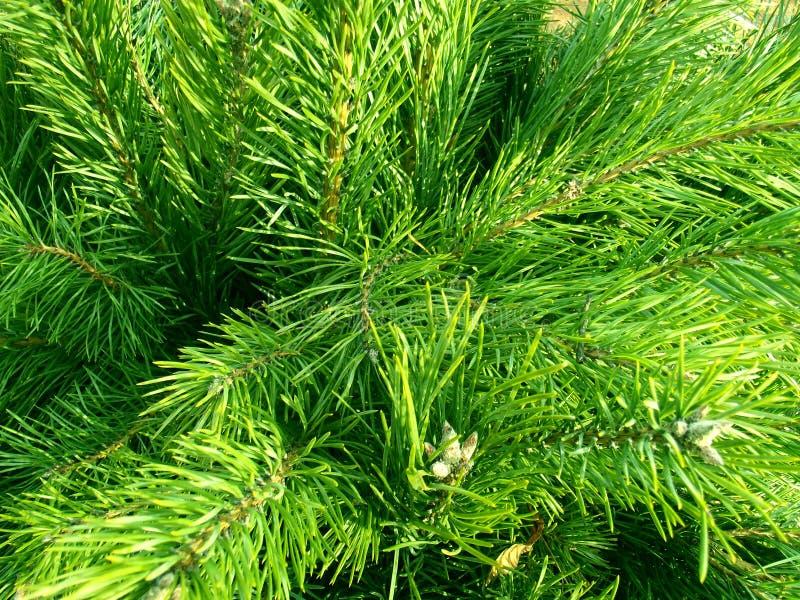 Green closeup fir. royalty free stock images