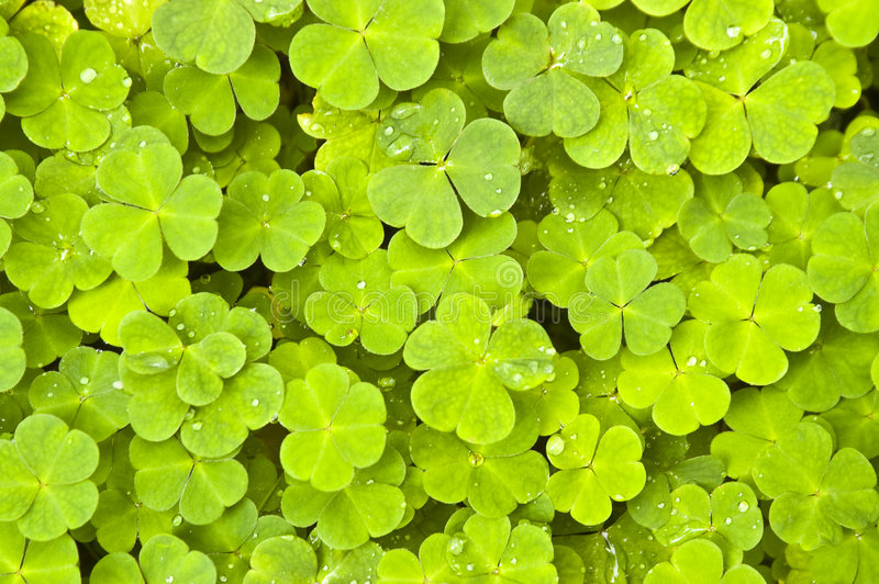 Green clover. Background with drops stock photography