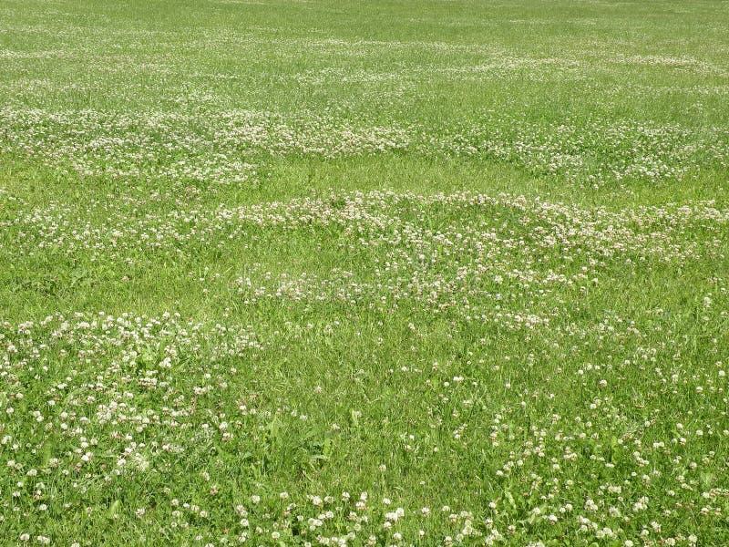 Green clover field royalty free stock photos