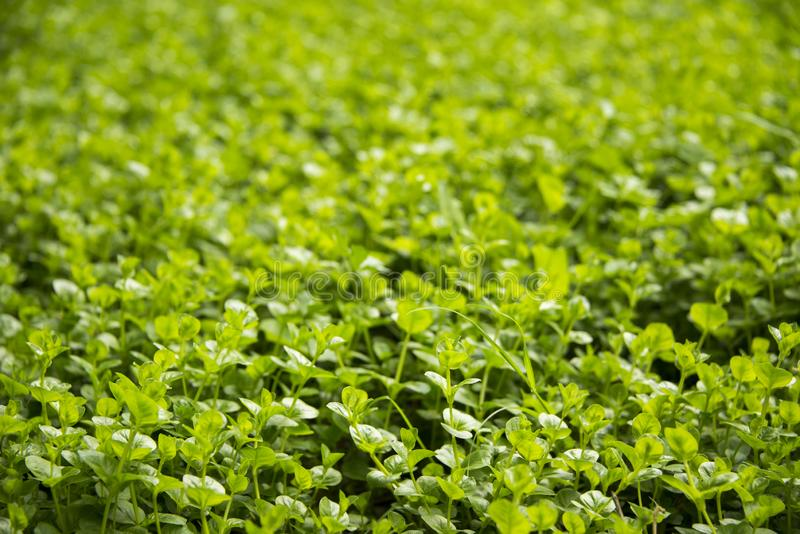 Field of green clover - Saint Patrick`s day royalty free stock image
