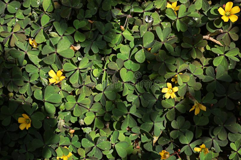 A green clover on the ground with a few yellow flowers royalty free stock photo