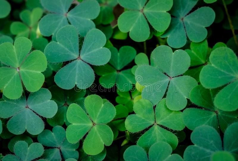 Green clover leaf isolated on white background. with three-leaved shamrocks. St. Patrick`s day holiday symbol. royalty free stock photos
