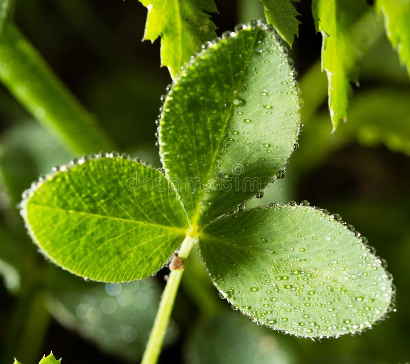 Green clover leaves in drops of dew stock image