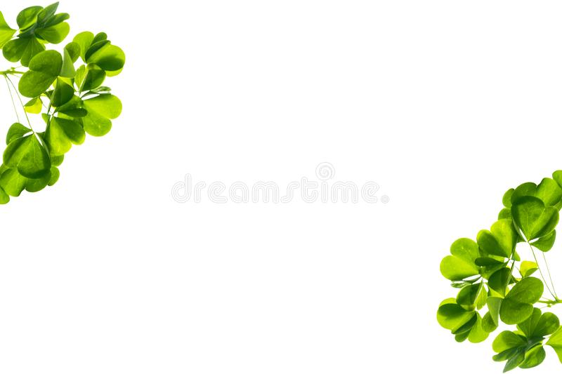 Green clover leaves isolated on white background. St.Patrick \'s Day. Nature stock images