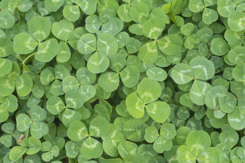 Green clover. Macro shot green clover background royalty free stock photo