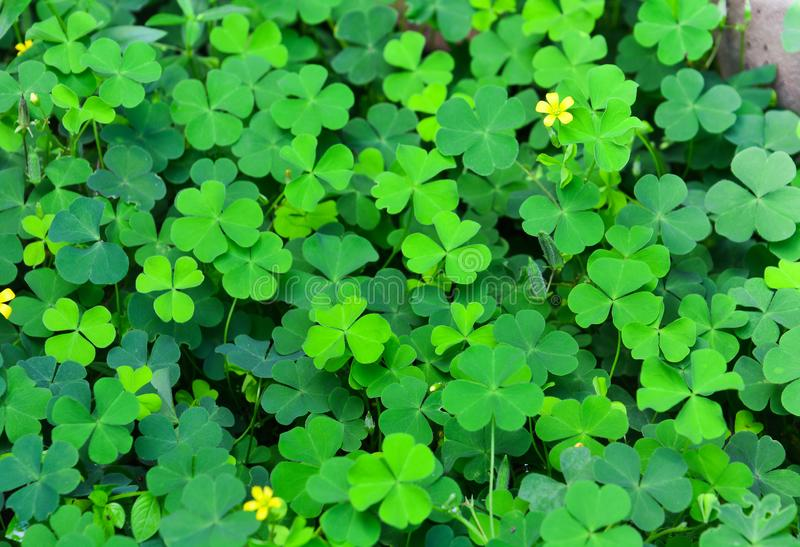 Green clovers leaf with little yellow flower. Selective focus royalty free stock image