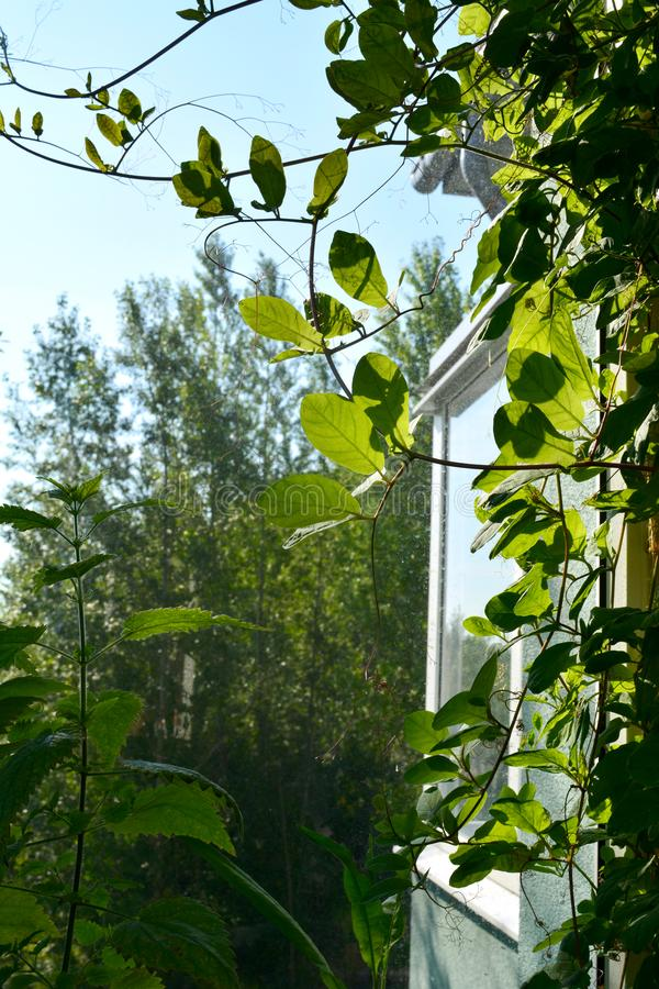 Green cobaea leaves near the window in small urban garden on the balcony. Home greening by climbing plants.  stock photo