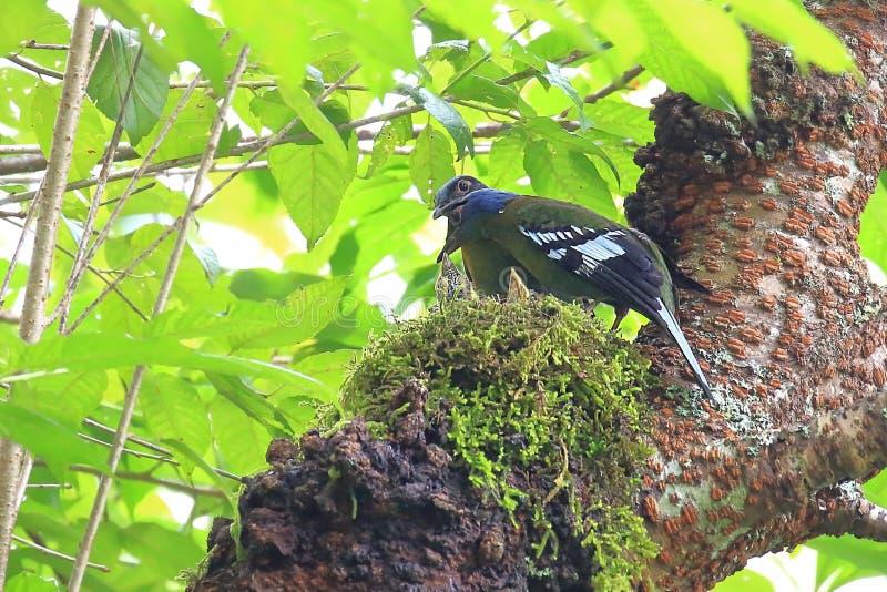 Green Cochoa bird In the breeding season stock images