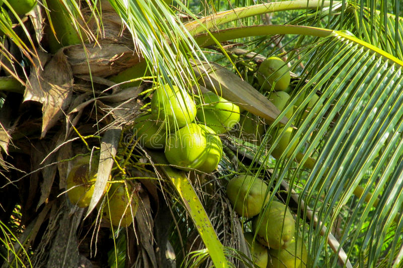 Green coco nuts growing on a palm. Palm trees tropical coconuts in tropic greenery, Brazil, tropical trees. Tropical hot climate royalty free stock image