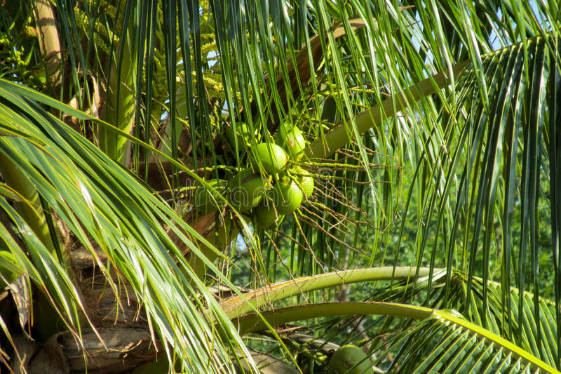 Green coco nuts growing on a palm. Yellow coco nuts growing on a palm. Palm trees tropical coconuts in tropic greenery, Brazil royalty free stock photography