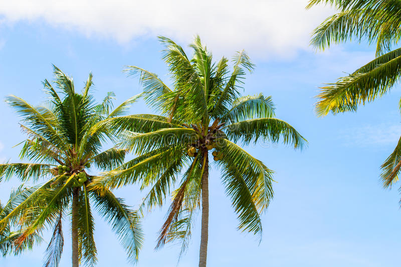 Green coco palm leaves on blue sky background. Palm tree and blue sky optimistic photo. stock photo