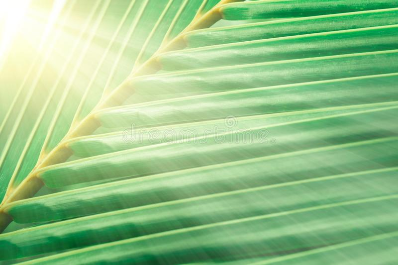 Green cocont leaves texture in sunrise abstract spring ,summer. Fresh nature relax photo concept background stock photography