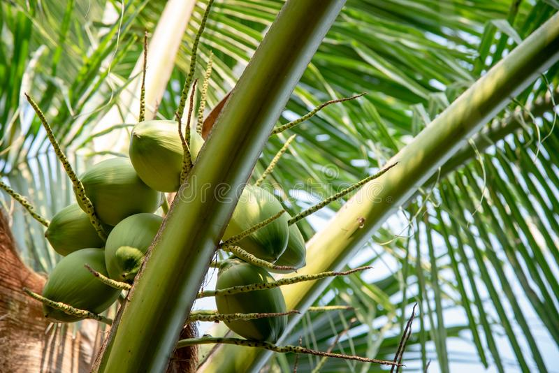 Green coconut fruit on tree stock images