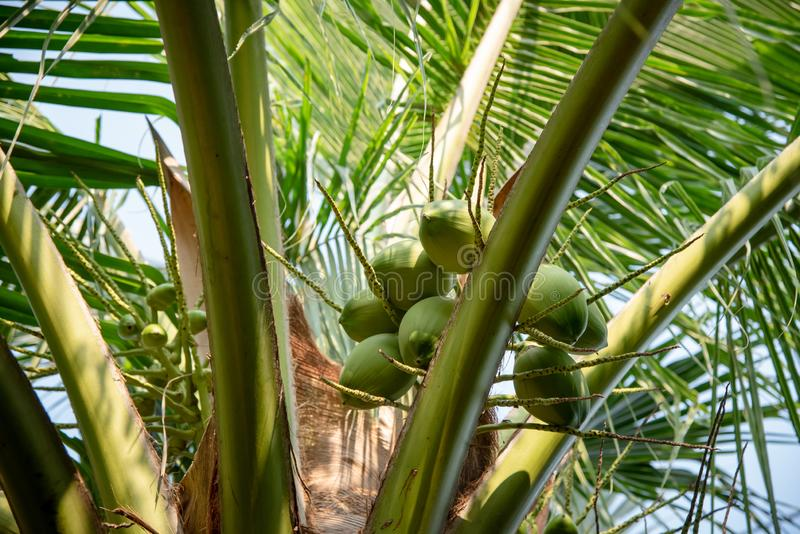 Green coconut fruit on tree royalty free stock photography