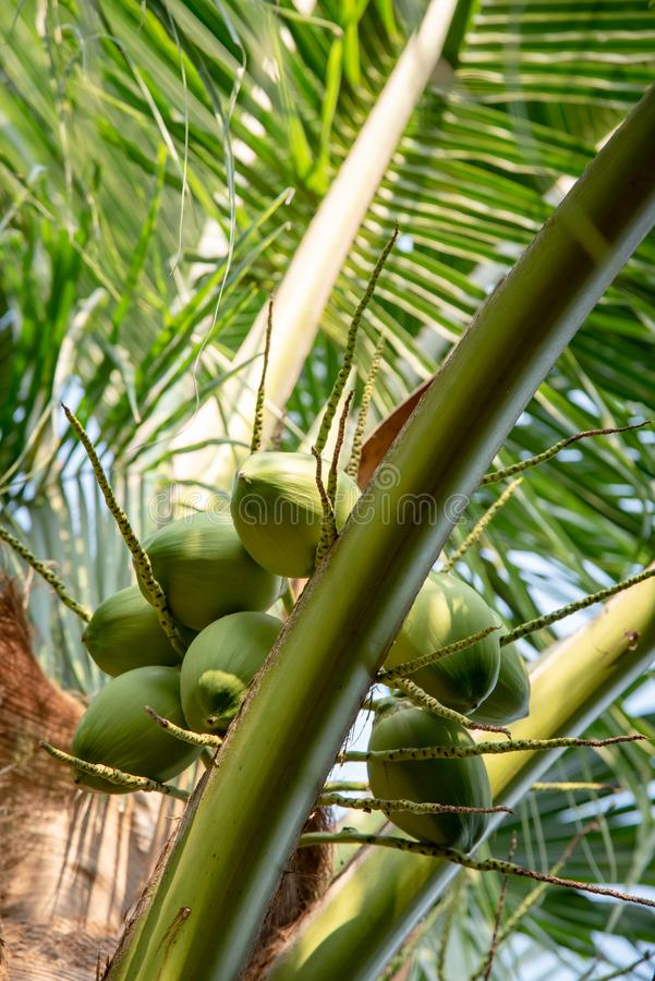 Green coconut fruit on tree stock photography