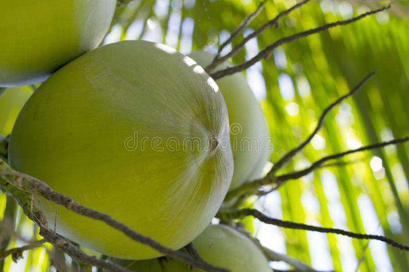 Green coconut growing on palm tree. Coconut in sunlight. Coco nut palm tree. Green nut on tree closeup. Tropical nature detail. Exotic botanical garden. Young royalty free stock photo