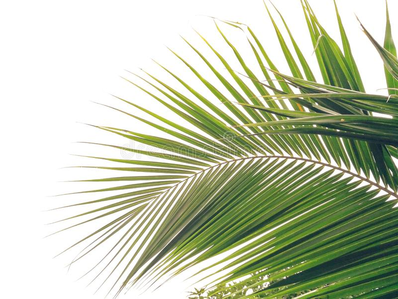 Green coconut leaf isolated on white background stock photo