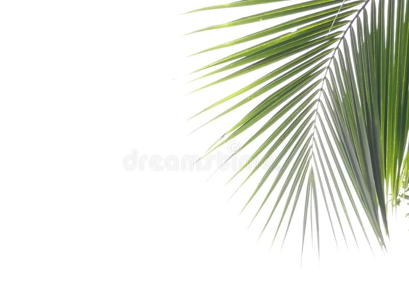 Green coconut leaf isolated on white background stock photos