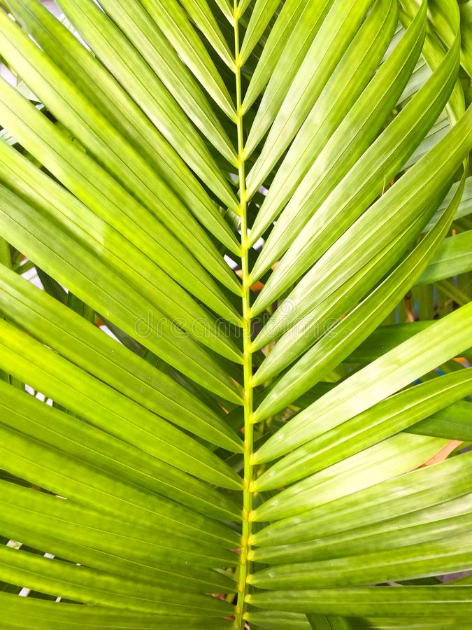 Green coconut leaves with many leaf. This is macro image of coconut tree branch. Green coconut leaves or Cocos nucifera L with many leaf. This is macro image of royalty free stock image