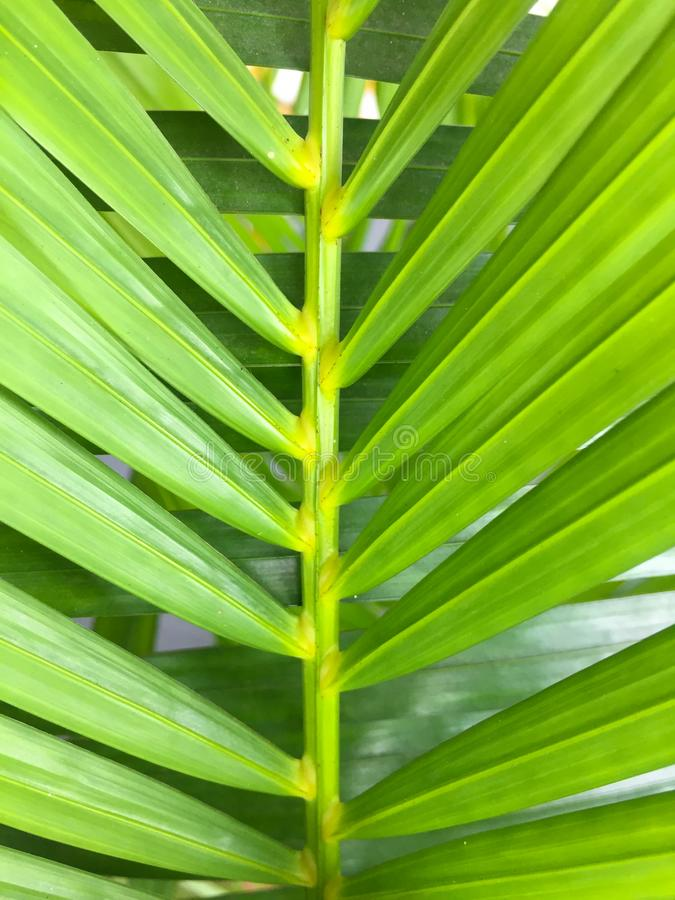 Green coconut leaves with many leaf. This is macro image of coconut tree branch. Green coconut leaves or Cocos nucifera L with many leaf. This is macro image of stock image