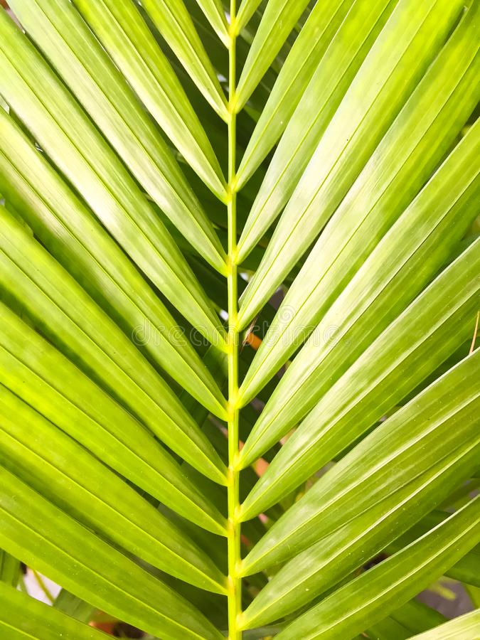 Green coconut leaves with many leaf. This is macro image of coconut tree branch. Green coconut leaves or Cocos nucifera L with many leaf. This is macro image of stock photos