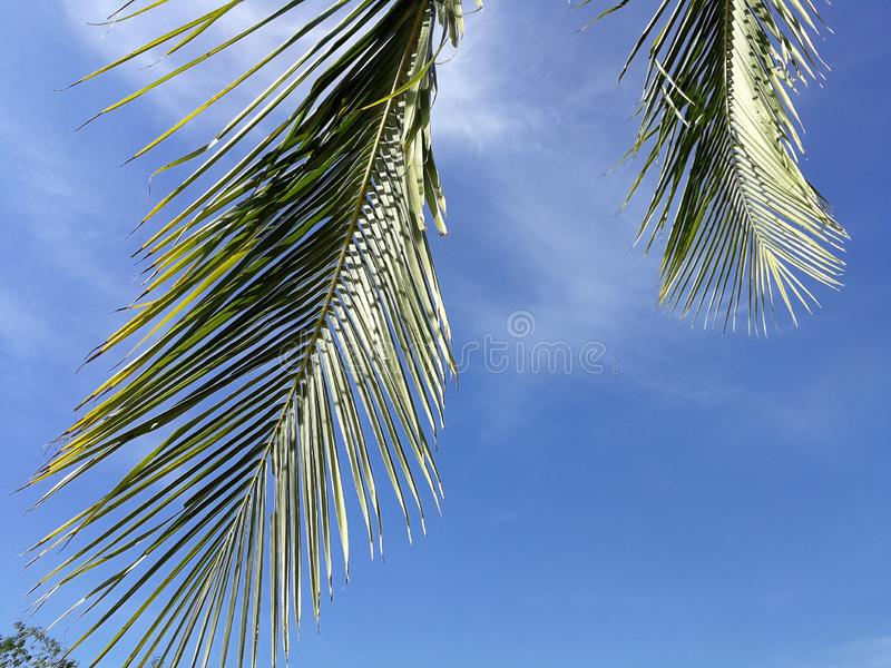 Green coconut palm frond against scenic skies and sun lights in the background, concept about summer time and relax royalty free stock image