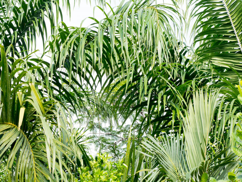 Green coconut palm leaves and branch background. Palm is tropical foliage plant with pinnate leaf royalty free stock photos