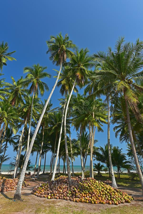 Green Coconut palm near beach royalty free stock photos