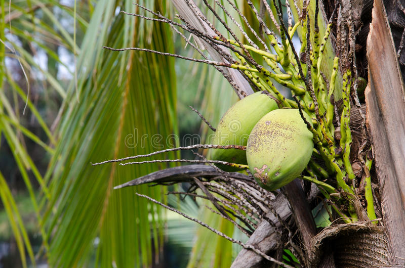 Green coconut at tree. In the garden of Agriculture royalty free stock images