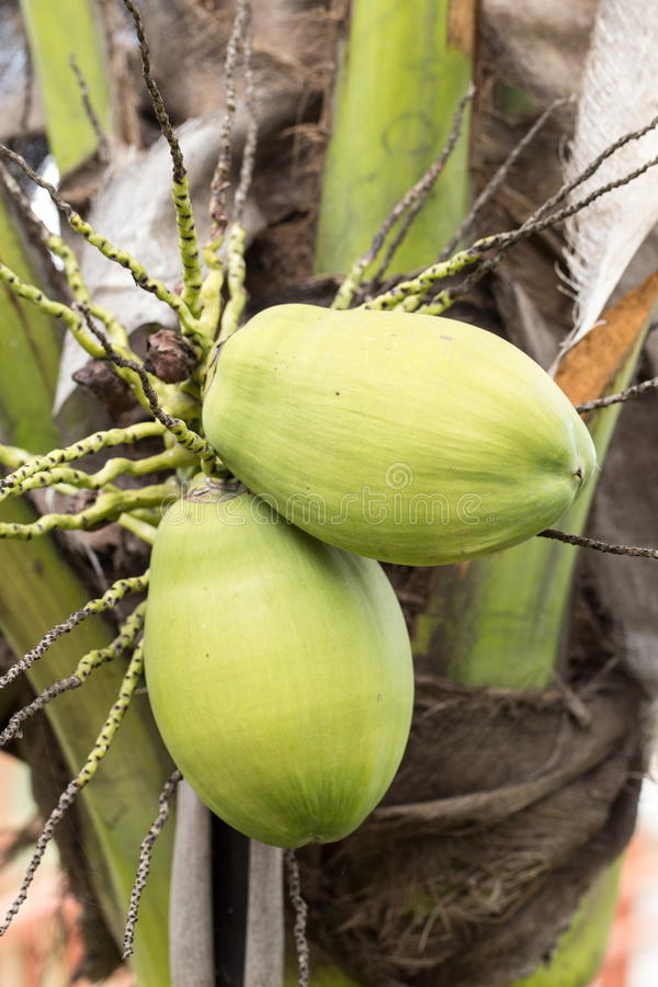 Download Green coconut stock photo. Image of summer, healthy, fresh - 33589860