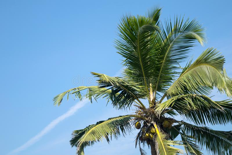 Green coconut tree palm and clear blue sky minimalism view with white aircraft trail with copy space stock photo